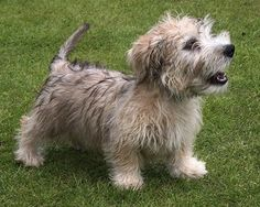 """*Best for lazy owners. Breed is called """"Glen of imaal"""" This is a serious contender."""