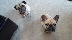 Pug and French Bulldog Look PERPETUALLY Perplexed, and They Are Awesome! http://www.pawbuzz.com/pug-and-french-bulldog-look-perpetually-perplexed/2/