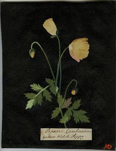 Mary Delany, cut paper collage artist of botanicals in the 1770s-1780s