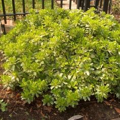 - A unique dwarf pittosporum with variegated foliage. The dwarf forms can have problems with leaf miners. Landscaping Plants, Garden Plants, Shrubs, Outdoor Living, Backyard, Leaves, Landscape, Flowers, Patio