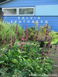 What saves you water and attracts lovely hummingbirds to your garden?? The beautiful california native Salvia spathacea!