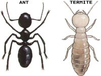 While from a distance termites and ants are very different. This graphical guide will show you the distinct physical differences between ants and termites. Termite Control, Flying Insects, Ants, Home Remedies, Amazing, House, Image