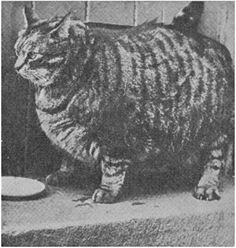 Claw Cat: Mengenal Kucing Terbesar Tahun 1950 http://clawcat.blogspot.com/2013/10/kucing-turkish-angora-terbesar-tahun-1950.html
