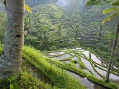 Terraced Rice Paddies Ubud Area Bali Indonesia