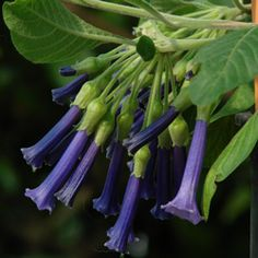 Clusters of violet-blue trumpet flowers attract hummingbirds to Iochroma cyaneum Royal Blue. Buy Royal Blue Arbol del Brujo online at FBTS.