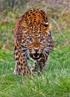 North China leopard | The Life of Animals