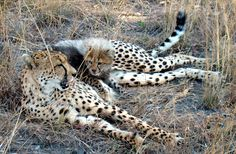 A little cheetah lying on his mom