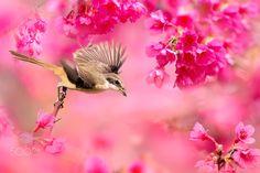 ~ Brown Shrike ~ - 鳥類名稱 Bird Name:Brown Shrike 灰頭紅尾伯勞 學名 Scientific Name: Lanius cristatus. (L. a. lucionensis) 科名 Family:伯勞科(Laniidae) 原始的圖像大小 Original Image Size : 6000x4000 pixel My Facebook page : https://www.facebook.com/fuyi.chen.9