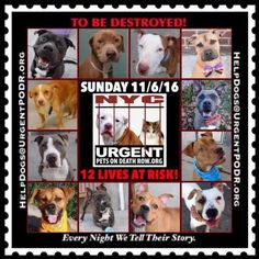 """12 BEAUTIFUL LIVES TO BE DESTROYED 11/06/16  @ NYC ACC **SO MANY GREAT DOGS HAVE BEEN KILLED: Puppies, Throw Away Mamas, Good Family Dogs. This is a HIGH KILL """"CARE CENTER"""" w/ POOR LIVING CONDITIONS.  Please Share:  To rescue a Death Row Dog, Please read this: http://information.urgentpodr.org/adoption-info-and-list-of-rescues/"""