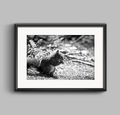 Black and white photograph of a red squirrel at Formby Squirrel Sanctuary / seaside / coastal / beach / wall art / home decor / photography