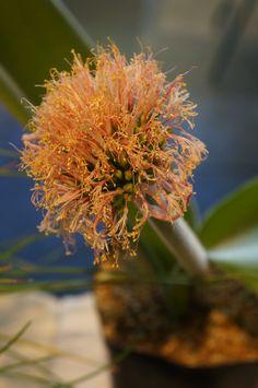 https://flic.kr/p/Ngfc7P | Haemanthus humilis ssp. hirsutus - CSSA 2014.JPG