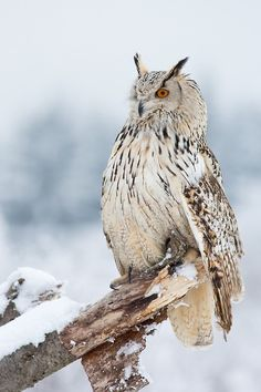 Siberian Eagle Owl by Milan Zygmunt Magical Nature Tour