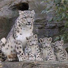 Facts About Baby Snow Leopard / Snow Leopard Cubs Baby Snow Leopard, Leopard Cub, Leopard Kitten, Leopard Nails, Cute Little Animals, Cute Funny Animals, Cute Cats, Beautiful Cats, Animals Beautiful