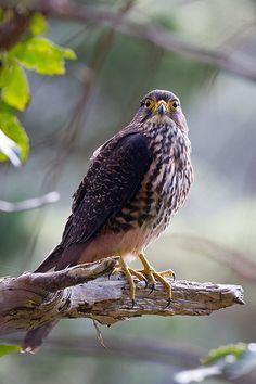 New Zealand Falcon (Karearea) Sea Birds, Wild Birds, Love Birds, Birds Of Prey, Buzzard, Kiwiana, Kestrel, Colorful Birds, Raptors