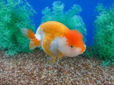 Lot# 9596 Red & White Ranchu (5 inches) goldfishnet.com