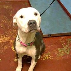***URGENT - HOW BIG IS YOUR HEART? 02/2018 CONNIE a American Pit Bull Terrier for adoption in Atlanta, GA who needs a loving home.