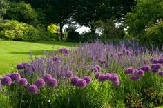 Allium 'Globemaster' and Salvia x sylvestris 'Mainacht' at RHS garden/photo by Jerry Harpur Violet Garden, Purple Garden, Backyard Garden Design, Terrace Garden, Deer Resistant Flowers, Gothic Garden, Flower Video, Italian Garden, Public Garden