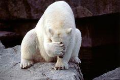 Facepalm polar bear