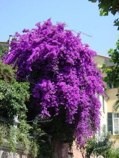 purple bougainvillea - beautiful but tough to control growth, groom regularly. Amazing Flowers, Purple Flowers, Beautiful Flowers, Purple Garden, Outside Living, Bougainvillea, Pergola Shade, All Things Purple, Flowers Nature