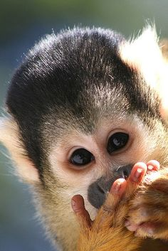 Squirrel Monkey by Joris Witsen