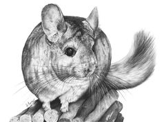 Cool chinchilla sketch.