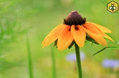 Rudbekia szorstka (Rudbeckia hirta) jest długo kwitnącą rośliną dającą pożytek pszczołom i motylom.