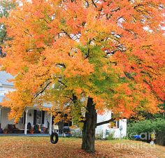 tree on fire in New England  #ropeswing #newengland #fall #autumn photos