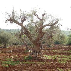 Olive Tree - Italy