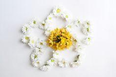 "Crisântemo. ""Flor de ouro"", que brilha como o raio do sol na sua cor amarela"
