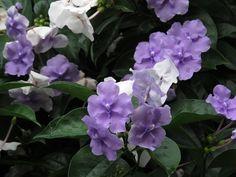 Las plantas autóctonas más lindas - Blogs lanacion.com Leaf Flowers, White Flowers, Media Sombra, Variegated Plants, Foliage Plants, Planting Flowers, Floral, South Miami, Facebook