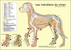 The Canine Meridians Meds For Dogs, Dog Anatomy, Cat Health Care, Animal Reiki, Pet Vet, Animal Science, Baby Dogs, Doggies, Therapy Dogs