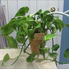 Here's a golden Pothos getting a much needed drink. Time lapse taken over 8 hours. #timelapse #goldenpothos #pothos #houseplants #watering #wateringcan