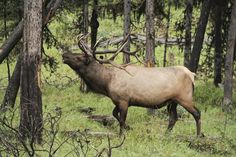 male elk in Yellowstone Park... photo by Bill Kaiser