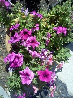 Petunias cam be grown year round under the right conditions.