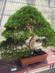 bonsai argentina - Buscar con Google