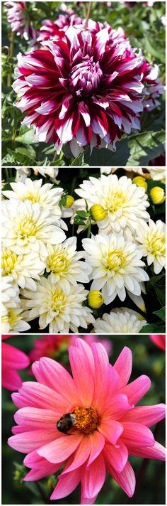 #Dahlien Richtig Pflegen Und Pflanzen   Wichtige Tipps Zu Den Beliebten  Sommerblühern Nachlesen. Gefunden