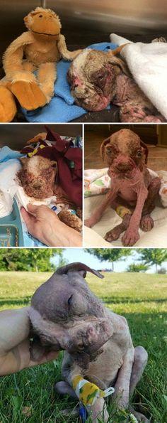 Этого щенка подобрали на улице истощенным, обезвоженным и покрытым чесоткой настолько, что он просто гнил заживо. Но лечение и любовь творят чудеса!