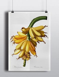 *<OUR POPULAR PRINTS HAVE BEEN FEATURED ON THE FRONT PAGE OF ETSY, REFINERY29, DWELL MAGAZINE, DWELL ON DESIGN, THE JUNGALOW, DESIGN MILK AND DOORSIXTEEN>* A beautiful antique illustration from the depths of an old 1800s botanical book, featuring an array of yellow bananas. Antique and vintage prints always make for stunning and unique wall decor for your home or office. Bring back to life these treasured 150+ year old illustrations by hanging them as single pieces, or as part of a wall…