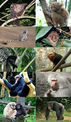 Primate - Wikipedia