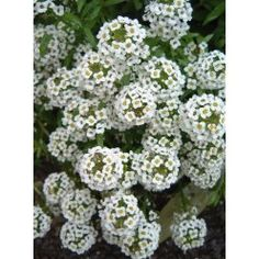 Sweet Alyssum (Low-growing ground cover or for a front border edge.  A good green/living mulch and companion plant in vegetable gardens too.)