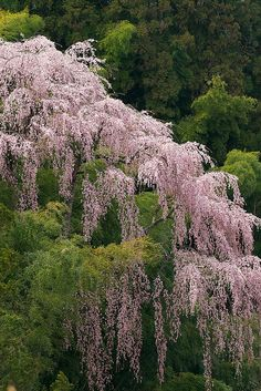 Cherry tree in full bloom, Fkujyu Temple, Fukushima, Japan