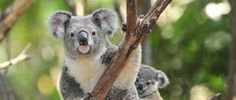Who could hurt a koala?Two men in Victoria who bludgeoned a koala and then threw it on a camp fire while. signatures on petition) Zoo Animals, Animals And Pets, Funny Animals, Cute Animals, Baby Koala, Animals Beautiful, Cute Babies, Wildlife, Sydney Australia