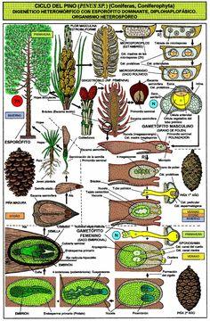 Pinus sp. (Coniferophyta).JPG (1102×1683)
