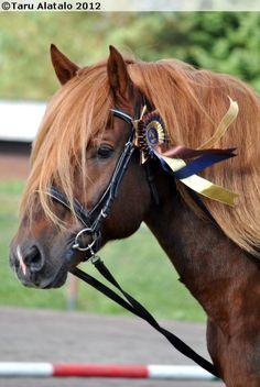 Finnhorse Sumiainen Horse Head, Horse Art, Horses And Dogs, Animals And Pets, Friesian Horse, Animal 2, Draft Horses, Horse Breeds, Australian Shepherd