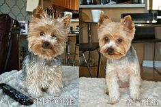 Yorkie puppy cut, What is a puppy