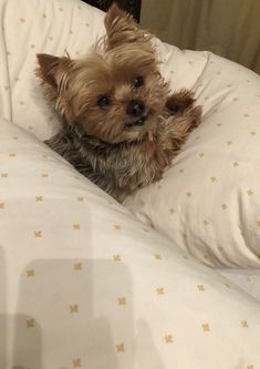 Find Out More On The Affectionate Yorkshire Terrier Dogs Temperament Yorky Terrier, Yorshire Terrier, Bull Terriers, Yorkies, Yorkie Puppy, Cute Puppies, Cute Dogs, Corgi Puppies, Baby Animals