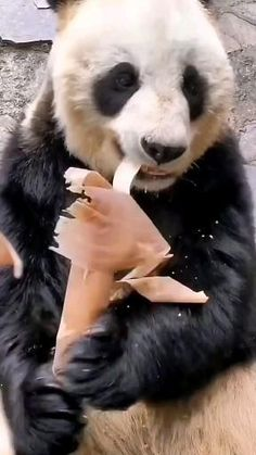 Panda Bears, Nature Gif, Cute Animal Photos, Cute Little Animals, Make Me Smile, Bunnies, I Am Awesome, Best Friends, Creatures