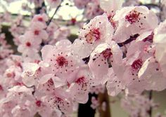 Cherry blossoms in the rain. Photo by Laurie Iwami Spring Flowers, Wild Flowers, Rain Photo, Welcome Spring, Cherry Blossoms, Pretty Flowers, Garden Inspiration, Planting Flowers, Greenery