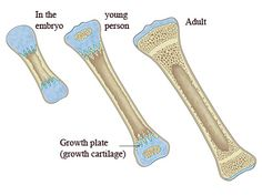 growth_cartilage