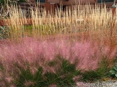 pink muhly grass (Muhlenbergia capillaris) – here with 'Karl Foerster' feather reed grass (Calamagrostis x acutiflora) from the amazing Nancy J. Ondra